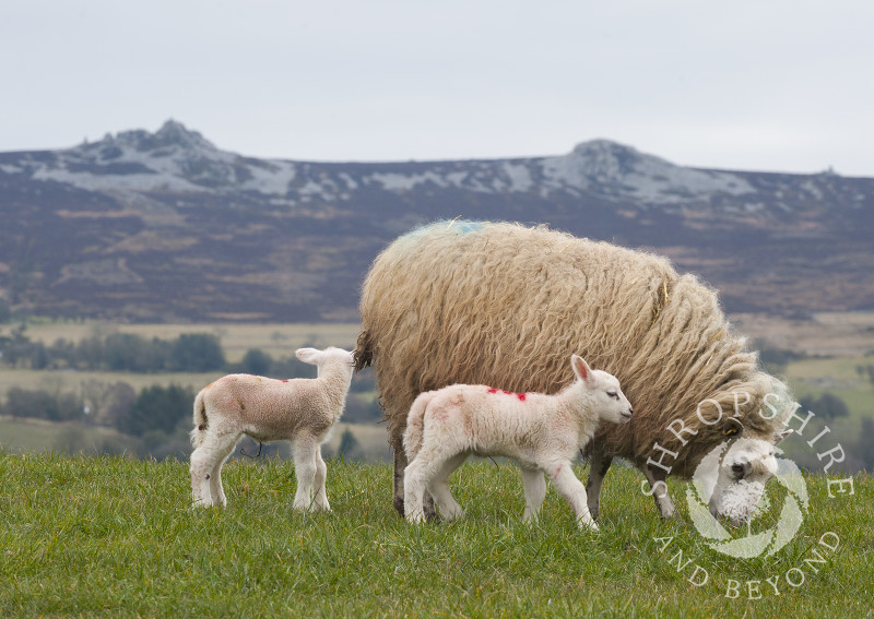 Newly born lambs and their mother under the Stiperstones at Shelve, Shropshire.