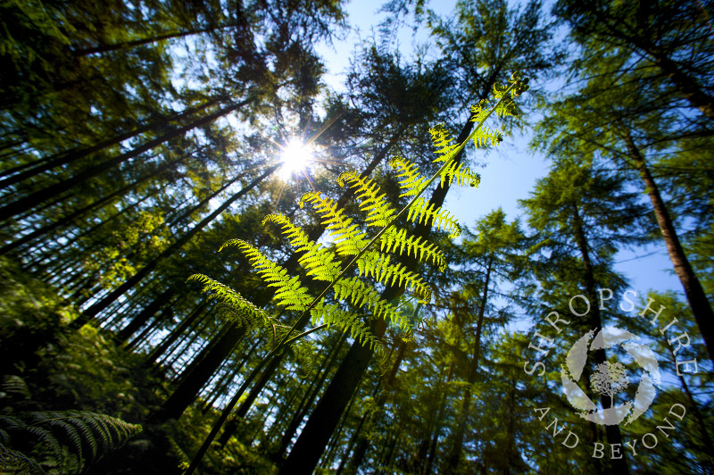 A fern growing in Mortimer Forest, near Ludlow, Shropshire, England.
