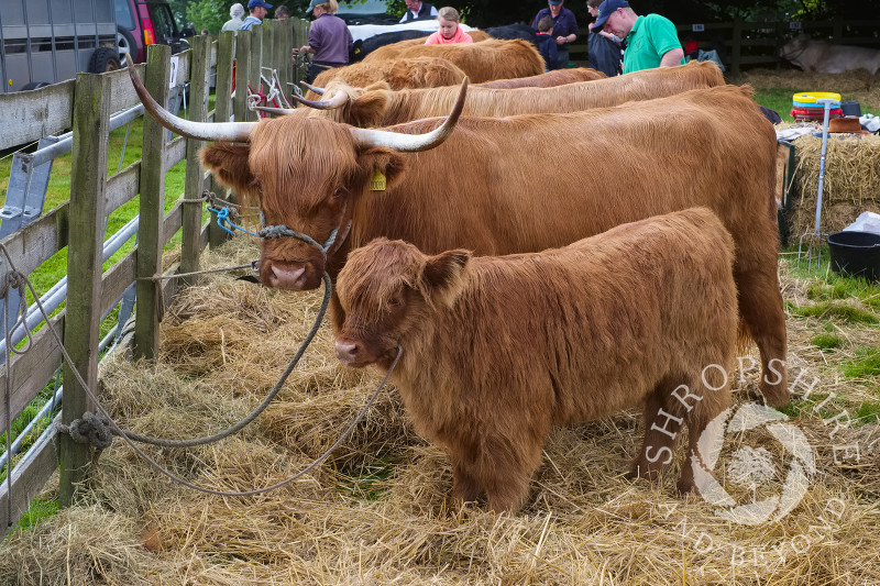 Highland cattle at Burwarton Show, near Bridgnorth, Shropshire, England.