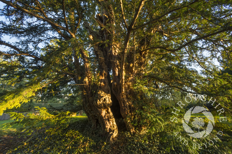 The ancient yew tree at Uppington, Shropshire.