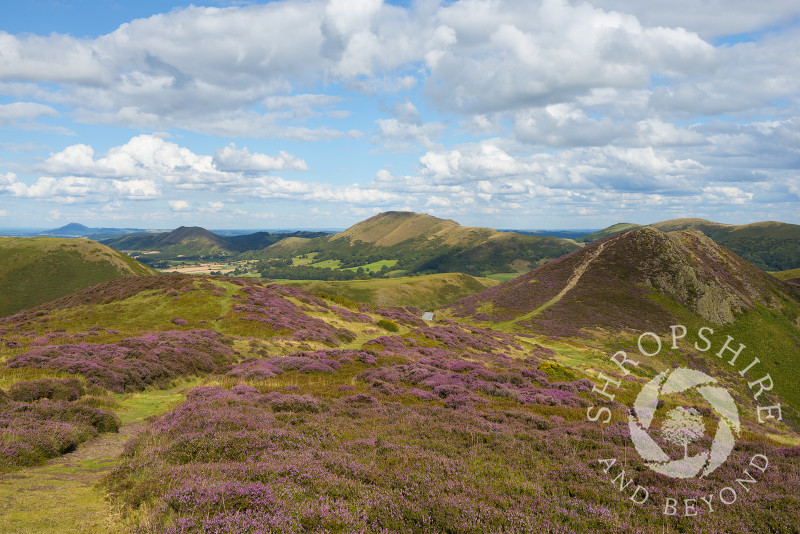 Purple heather on the Long Mynd and Burway Hill, Shropshire. Seen on the horizon are, from left, the Wrekin, the Lawley and Caer Caradoc.