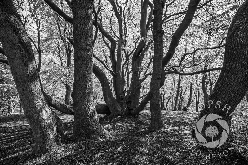 Monochrome image of trees on the Wrekin, Shropshire, England.