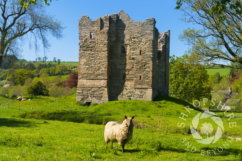 A sheep stands guard outside Hopton Castle in the village of Hopton Castle, south Shropshire.