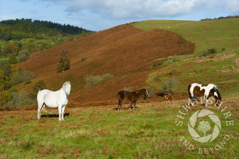Ponies grazing on Hopesay Common in autumn, near Craven Arms, Shropshire, England.