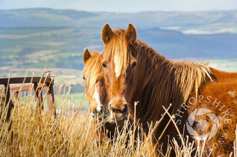 Ponies on Brown Clee Hill, Shropshire, England.