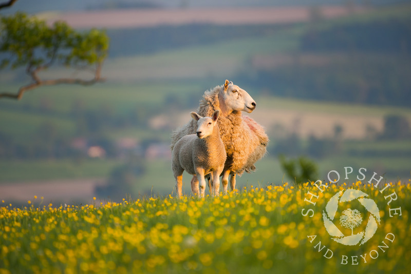 Sheep graze in a field of buttercups on Linley Hill, near Norbury, Shropshire.