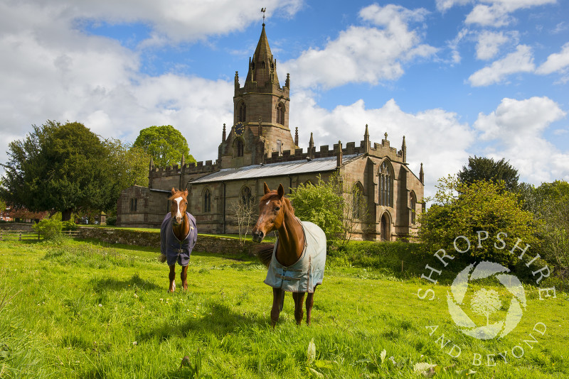 Horses graze in a field near St Bartholomew's Church at Tong, Shropshire, England.