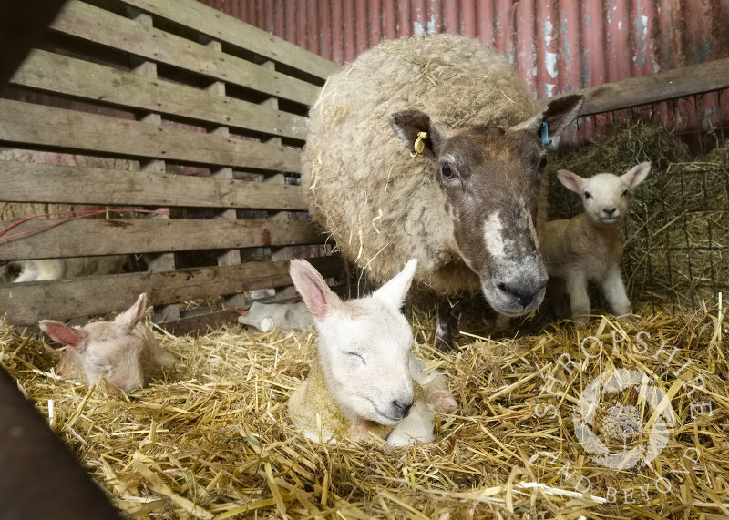 Newborn triplet lambs with ewe on a farm at Shelve in Shropshire.