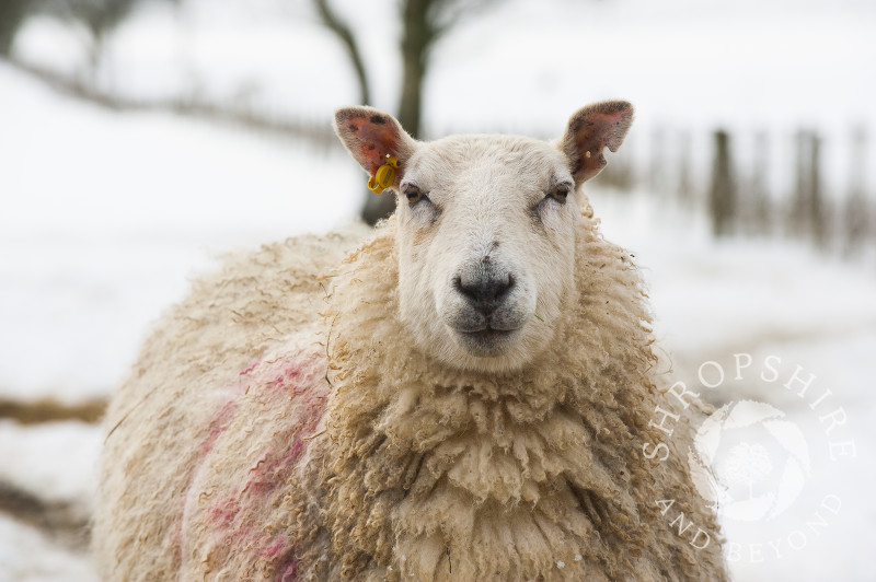 A sheep in spring snow on the Stiperstones in South Shropshire, England.