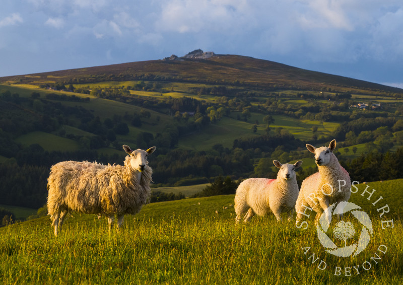 Sheep on Linley Hill, with the Stiperstones on the horizon, Shropshire.