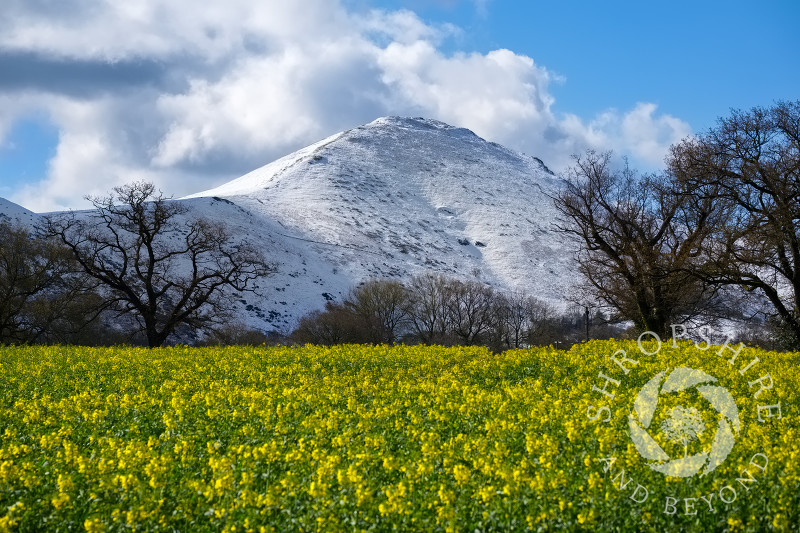 A field of oilseed rape in bloom beneath a snow-covered Caer Caradoc, Shropshire.