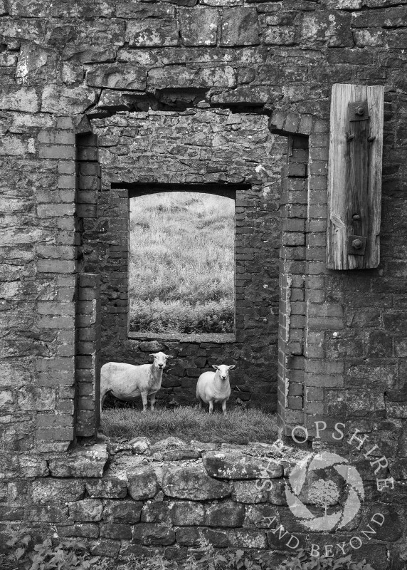 Two sheep look out from an old mining building on Brown Clee hill, Shropshire.
