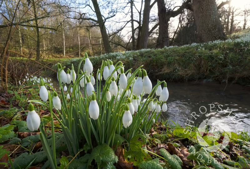 Snowdrops beside Coundmoor Brook, near Cound, Shropshire.