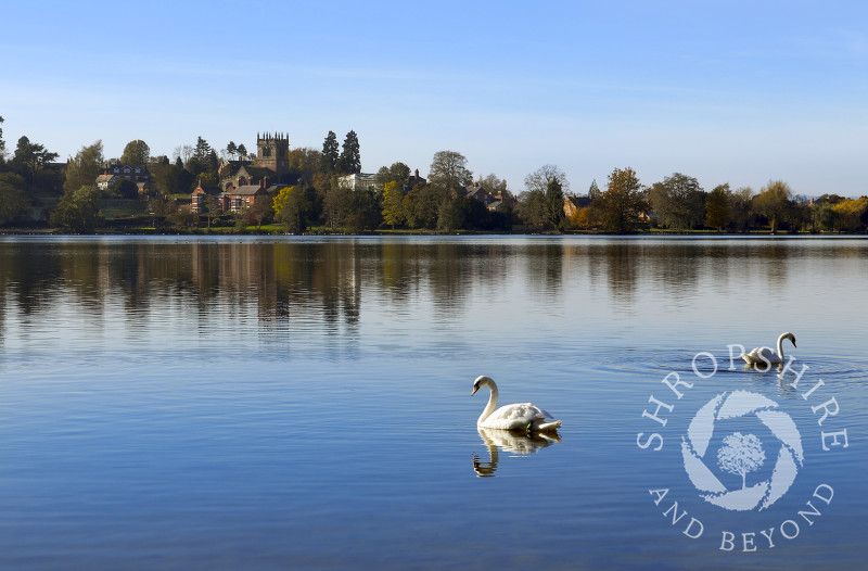 Swans on the Mere at Ellesmere, Shropshire, England.