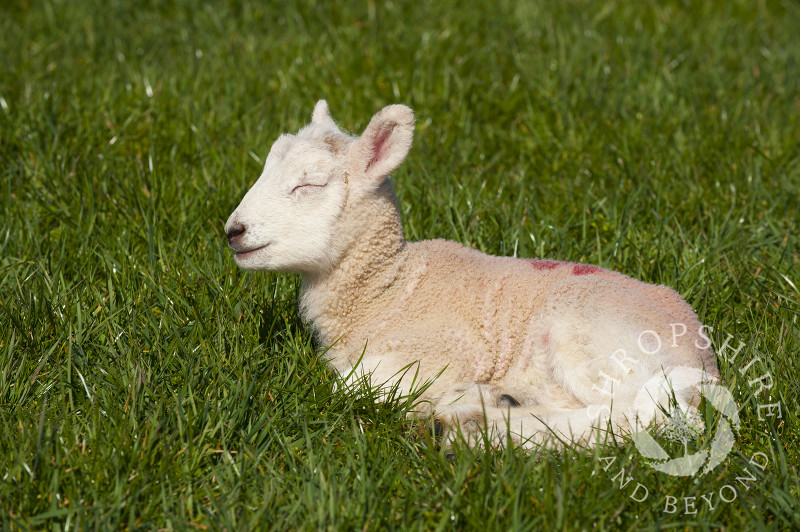 A lamb enjoys the spring sunshine at Middle Farm, Shelve, on the Stiperstones, Shropshire, England.