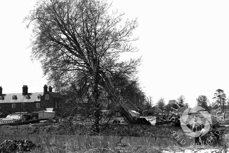 A beech tree being felled in preparation for the construction of Beech Drive, Shifnal, Shropshire, in 1965.