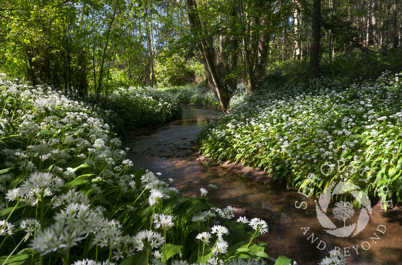 The Wesley Brook in Shifnal winding its way through a sea of wild garlic, Shropshire.