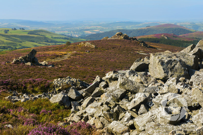 Quartzite rock and purple heather on the Stiperstones in Shropshire.