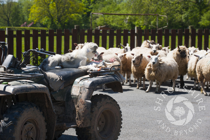 A sheepdog watches a herd of sheep from the seat of a quad bike, Clee St Margaret, Shropshire.