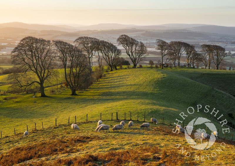Sheep grazing at sunrise on Linley Hill, near Norbury, Shropshire.