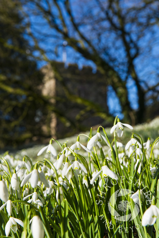 Snowdrops at St Peter's Church in Stanton Lacy, near Ludlow, Shropshire, England.