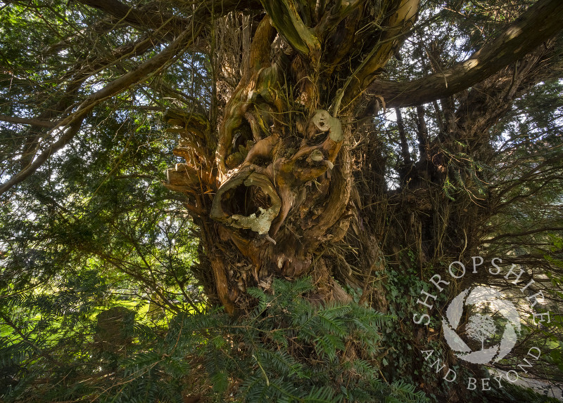 2,700 year old yew tree in the churchyard of All Saints' at Norbury, Shropshire, UK.