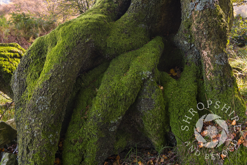 Moss-covered tree roots at Brook Vessons Nature Reserve, Shropshire.
