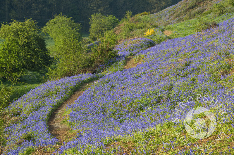 Bluebells on Old Oswestry Hill Fort, Shropshire.