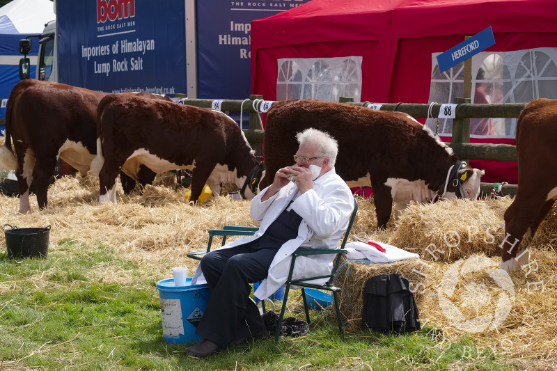 An exhibitor and Hereford cattle find time for a snack at Burwarton Agricultural Show, near Bridgnorth, Shropshire, England.