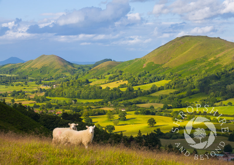 Two sheep pose on the Long Mynd in front of Caer Caradoc, the Lawley and the Wrekin in Shropshire.