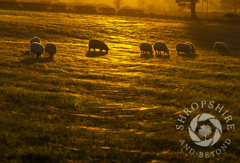 Sheep grazing in a spiderweb covered field at sunset beneath the Wrekin, Shropshire, England.