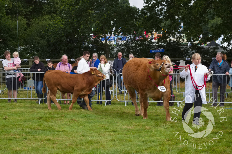 Cattle in the parade ring at Burwarton Show, near Bridgnorth, Shropshire, England.
