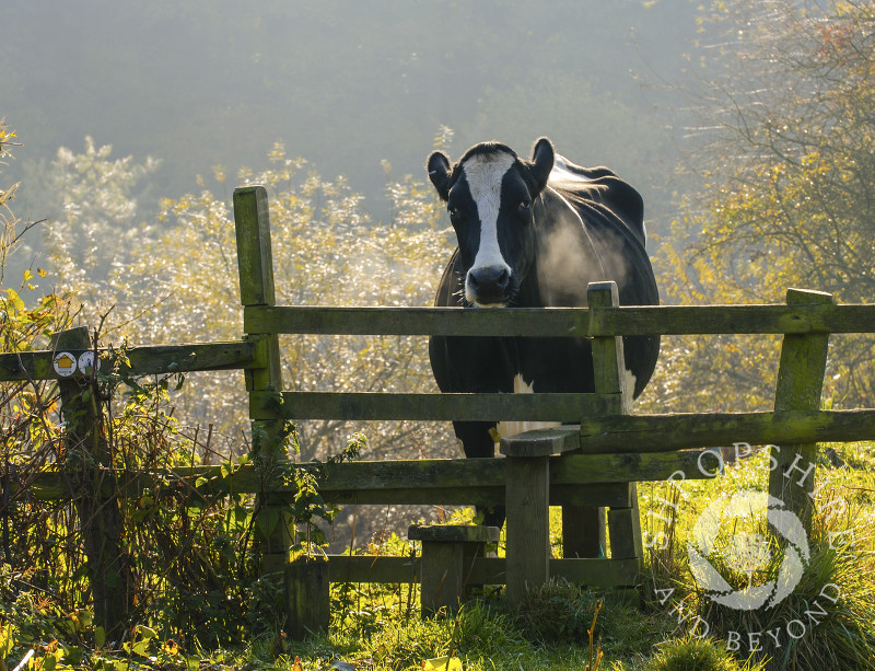 A cow looks over a stile at Bridgnorth, Shropshire, England.