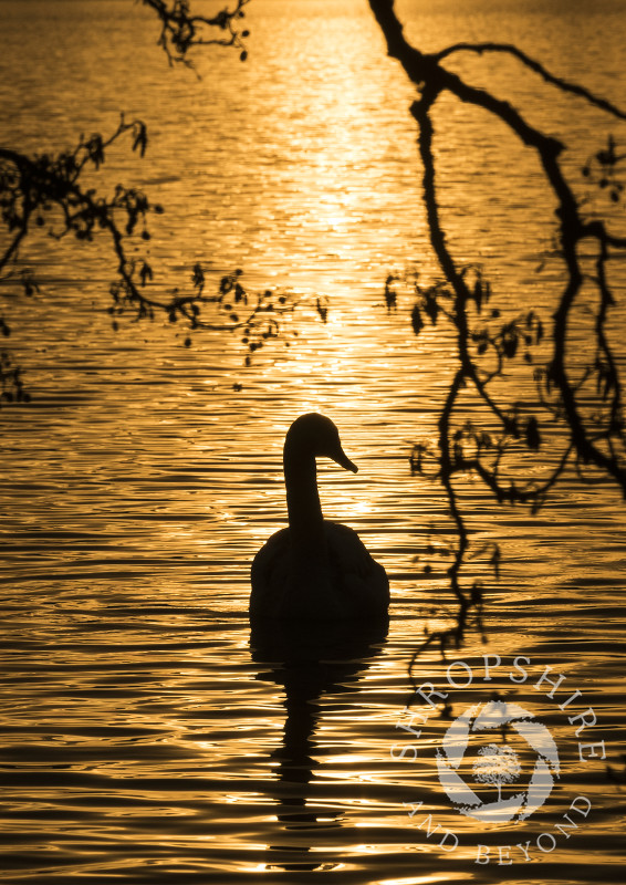 A mute swan silhouetted by sunrise reflected on the Mere at Ellesmere, Shropshire.