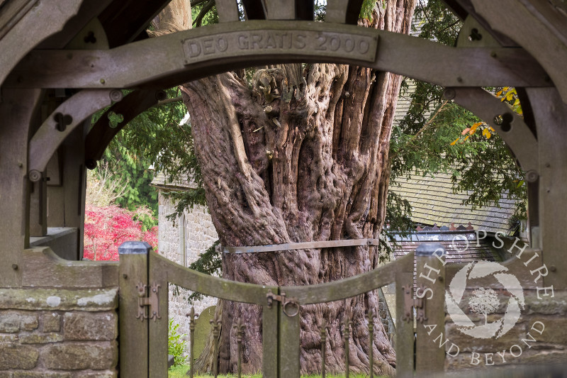 The ancient yew in the churchyard of St John the Baptist at Church Preen, Shropshire.