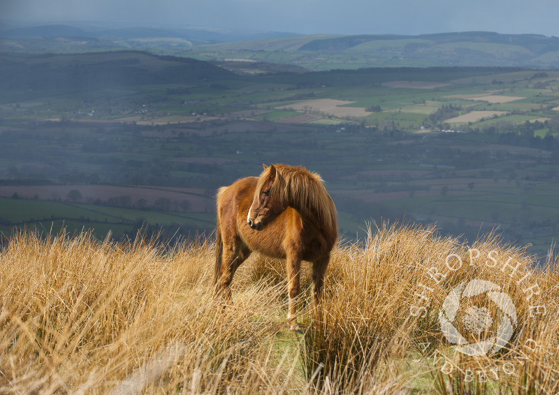 A pony grazing on Brown Clee Hill, Shropshire, England.
