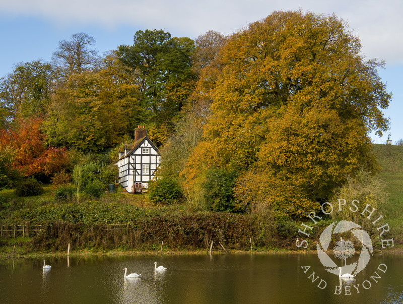 Swans on The Mere at Worfield, with Pool Cottage, near Bridgnorth, Shropshire.