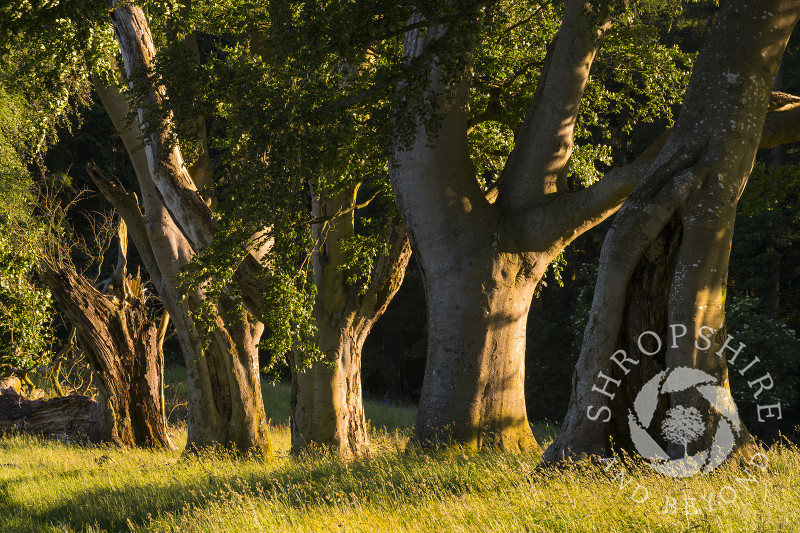 Evening light on the ancient avenue of beech trees on Linley Hill, Shropshire