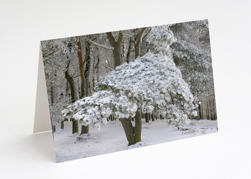 Snow-covered tree on the Wrekin, Shropshire.
