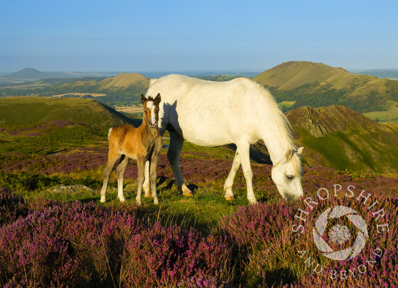 Pony and foal amid the heather on the Long Mynd above Church Stretton, Shropshire, England.
