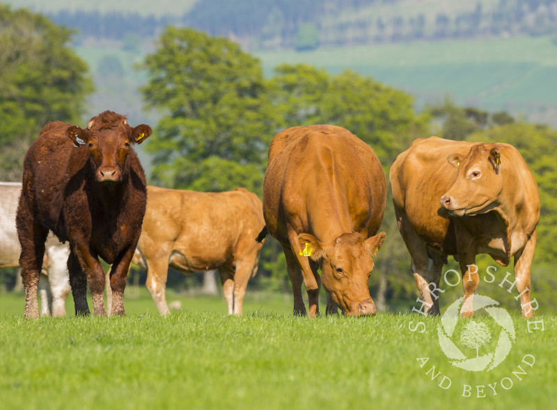Cattle grazing on Hopesay Common near Craven Arms, Shropshire.