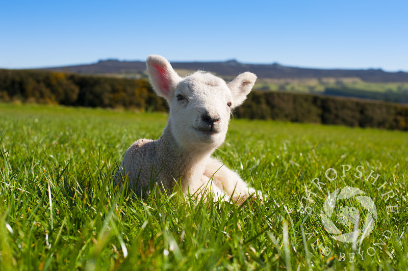 A lamb enjoys the spring sunshine at Shelve, near the Stiperstones, Shropshire, England.